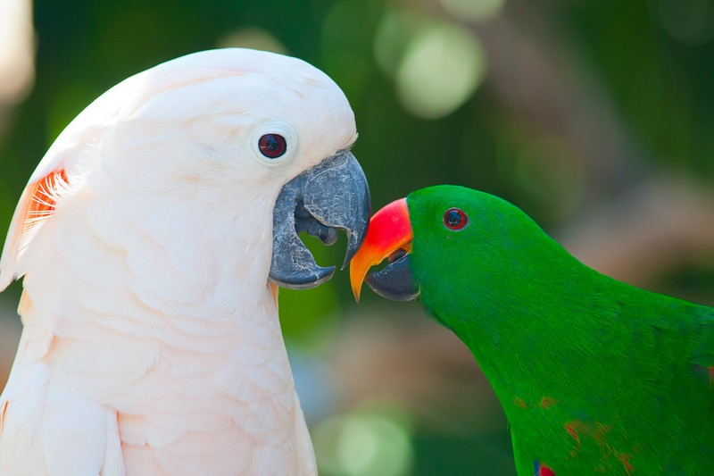 Two birds touching beaks. The bird on the left is a white and pink bird and the bird on the right is a green bird with a red and yellow beak