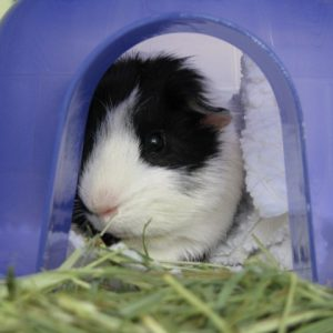 Jewels, the guinea pig, is resting in her igloo after lunch.