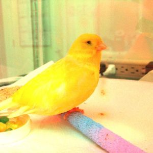 Tweety, a canary, enjoys his perch while boarding for medical treatment.