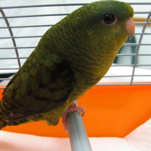 A green lineolated parakeet named Bernice
