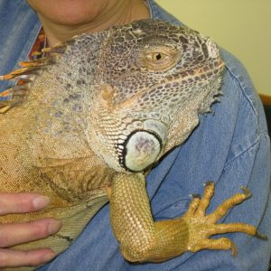 Eldridge the Iguana poses while boarding at BABH.