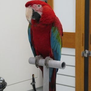 Rico is a Green Winged Macaw.