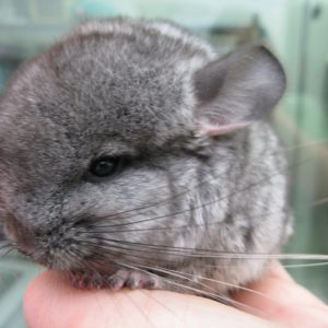 A week old grey baby chinchilla