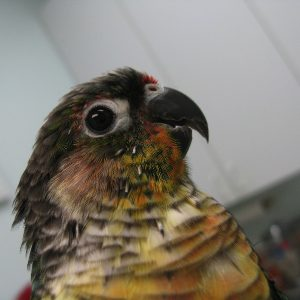 Fifi is a Green Cheeked Conure whose beak is healing well after being partially bitten off by a much larger housemate.