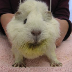 A white guinea pig has six does