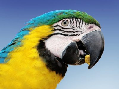 A colorful yellow, blue and green parrot eating a yummy bird pellet