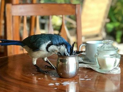 A blue jay bird drinking the creamer from a cup on a restaurant table