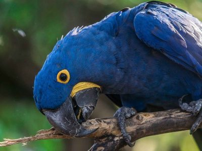 A blue parrot. with yellow all around his eyes and mouth biting a stick